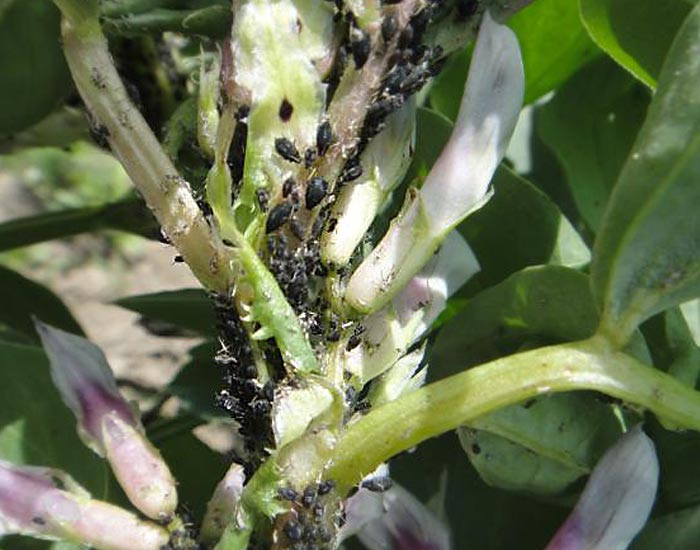 Aphids on broad bean (fot. dr M. Rogowska)