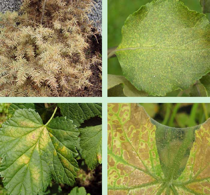 Damages caused by mites on various crops