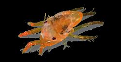 Spider mites - photo